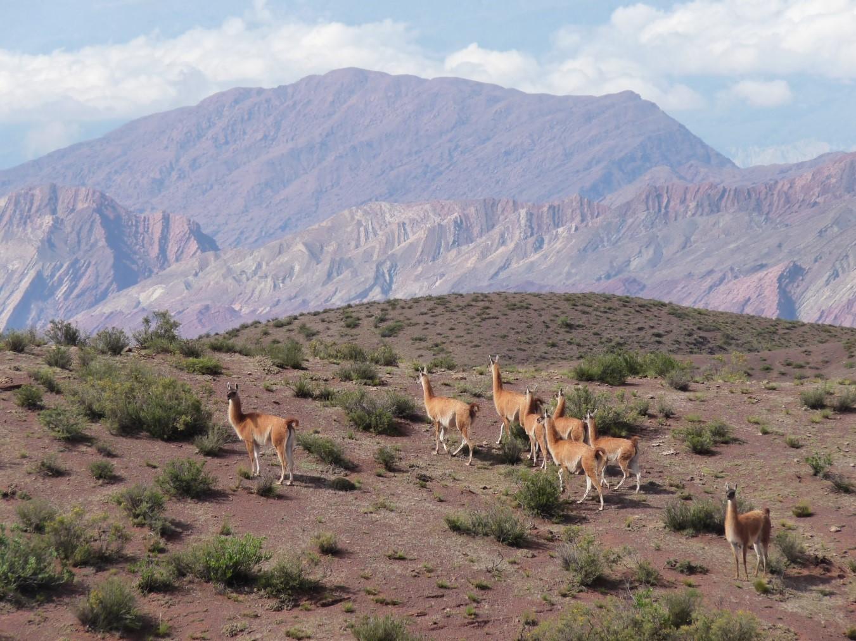 Conteo de guanacos en el Parque Nacional Los Cardones